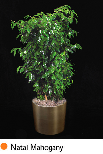 Greenleaves Interior Landscaping Foliage